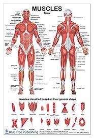 Anatomy Chart Muscular System Muscles Male Poster 2 Views 24x36inch For Physical Fitness Working Out Muscular System Anatomical Chart