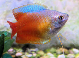 The Dwarf Gourami: Caring for Tropical Fish