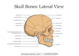 Human Skull Anatomy Images Stock Photos Vectors