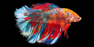 Betta Fish Chart Betta Fish Facts And Why Theyre Not Starter Pets Peta