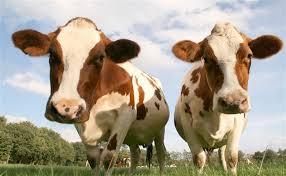 Resultado de imagen para vaca marron