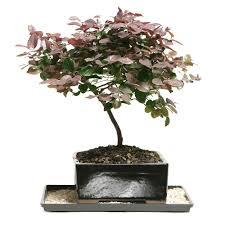 bonsai tree for office. Chinese Live Bonsai Tree - Fringe Flower Pot For Garden \u0026 Home Office