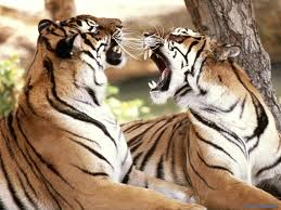cute wild animal wallpaper. Delighful Animal Wild Animals Images Big Cat Fight HD Wallpaper And Background Photos For Cute Animal Wallpaper K