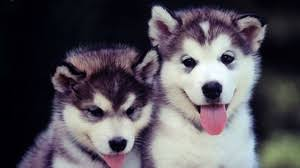 cute puppy wallpaper for computer. Perfect Computer Preview Wallpaper Puppies Couple Blue Face Cute Dog In Cute Puppy Wallpaper For Computer