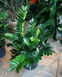 zamifolia plant best office plant no sunlight