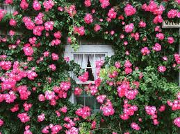 Beautiful pink roses cascading over a white window, giving a cottage garden  look