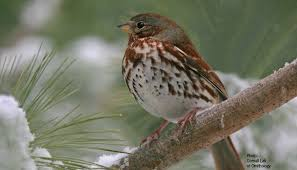 Image result for Sparrow Bird