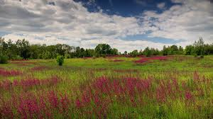 grass field background with flowers. Field Of Red Flowers. Timelapse. Flowers Ivan-tea On A Background Green Grass And Blue Sky. Spring. Stock Video Footage - VideoBlocks With