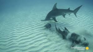 hammerhead shark eating a stingray. Exellent Hammerhead On Hammerhead Shark Eating A Stingray Smithsonian Magazine