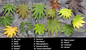 Japanese Maple Growth Chart Comparison Of Different Acer Shirisawanum Cultivars