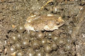 garden frogs. Wonderful Garden Find Us Throughout Garden Frogs