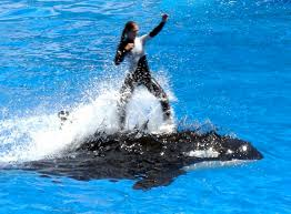 killer whale attacks on humans.  Whale Former Trainer Says Killer Whale Captivity Causes Attacks And On Humans L