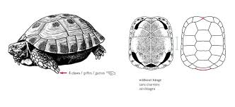 Russian Tortoise Age Size Chart Horsfields
