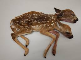 Two-headed deer discovered in forest described as