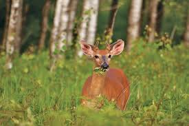 Whitetail Deer Feeding Chart Whitetail Nutrition Calendar What Deer Eat And When