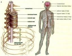 Анатомия центральной нервной системы Реферат по анатомии человека  Скачать курсовую учебник справочник реферат бесплатно