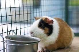 best odor eliminators for guinea pig