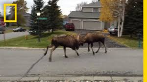 Watch Fight Moose In Alaska Geographic A Quiet National Suburb rrxRwTgq