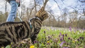 Promener son chat en laisse : peut-on apprendre à tenir en laisse son chat ?