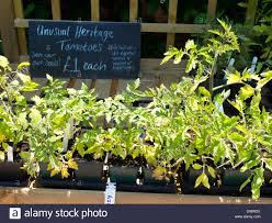 Plants For Kitchen Garden Knightshayes Court Kitchen Garden Heritage Variety Plants For Sale