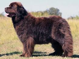 the newfoundland big fluffy dog breeds that are absolutely beautiful