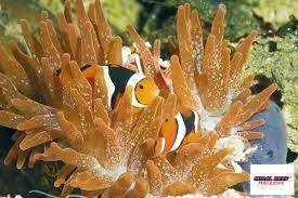 Pesci pagliaccio e anemoni di mare reef aquarium