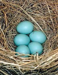 photograph eastern bluebird nest with eggs by millard h sharp