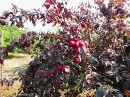 Varieties  Heritage Fruit TreesPlum Fruit Tree Varieties