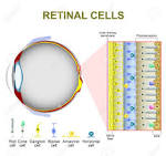 retinal cone photoreceptor cells