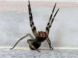 Resultado de imagem para A aranha armadeira