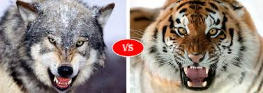 Play wolf vs tiger simulator game online in your browser free of charge on arcade spot. Gray Wolf Vs Siberian Tiger Siberian Tiger Wolves Fighting Fight Tiger