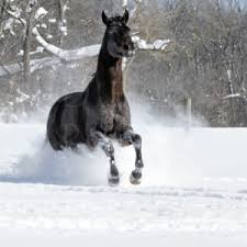 black horses in snow.  Horses Black Horse Running At Camera In White Snow 14451 On Horses In