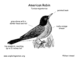 Small Picture Robin American