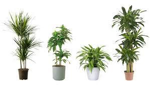 perfect office plants. Dracaenas Types, Air Purifying Plants, Cleaning Plants Perfect Office I