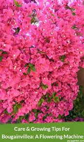 bougainvilleas are flowering machines you can t beat them for an explosion of color here you ll find care growing tips for bougainvillea