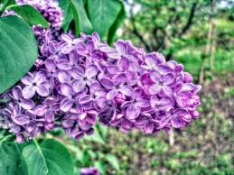 Image result for lilac images