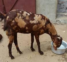 Goat Chart Sirohi Goat Weight Chart Archives Learn Natural Farming