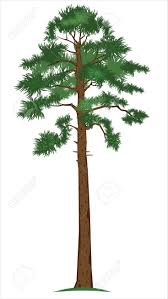 tall tree vector. pin pine tree clipart tall object #5 vector f