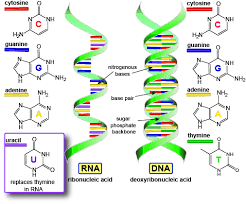 Functions Of Nucleic Acids Functions And Building Blocks Of 2 Types Of Nucleic Acids