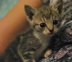 lulu lemon dsc02645 02736 dsc 0403 kitten1 lemon baby 6 kittens