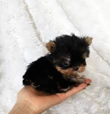 es tiny teacup yorkie puppies with love dogs puppies in novi mi