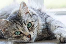 5 facts about the gray tabby cat catster