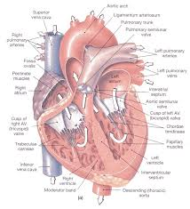 Cardiac Anatomy Chart Fetal Cardiac Anatomy