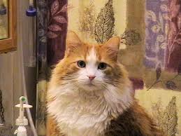 fluffy white and orange cats. Plain Cats Missing Cat Ottawa In Fluffy White And Orange Cats O
