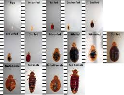 Size Of Bed Bugs Chart Bed Bug Identification Chart Want To Know If You Have Seen