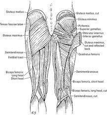 Upper Leg Muscle Chart The Thigh Muscles Dummies