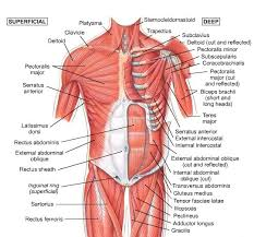 Every time you rotate your upper body you will feel the muscles on one side of the torso stretching and another side contracting. Adrien S Stretch Page Shoulder Muscle Anatomy Neck Muscle Anatomy Muscle Diagram