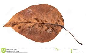 back side of rotten autumn leaf of apple tree