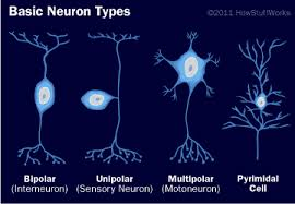 Basic Neuron Types How Your Brain Works Howstuffworks