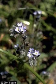 Plants Profile for Myosotis stricta (strict forget-me-not)